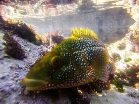Spotted Wrasse