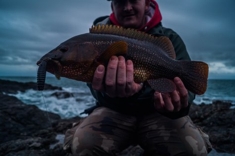 Rough weather Wrasse