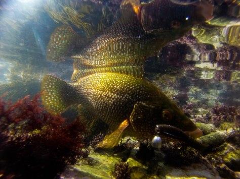 Underwater Wrasse